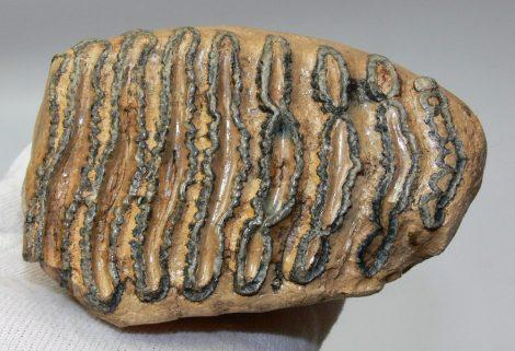 Mammuthus primigenius részleges fog (751 gramm)