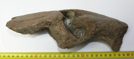Mammuthus sp. partial jaw bone (1331 grams)