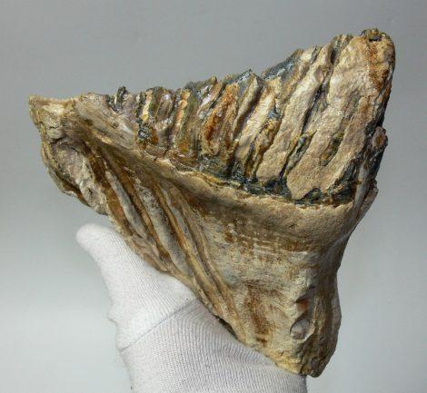 Mammuthus primigenius fog (1346 gramm)