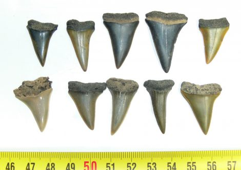 Cosmopolitodus hastalis 10 pieces shark tooth