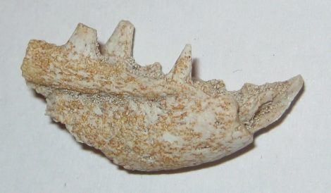 Odontopterix topliaca jaw from Morocco  SOLD (MK) 12