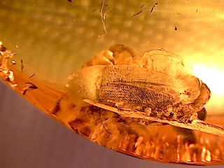 Elateridae fossil amber from Poland (Coleoptera)