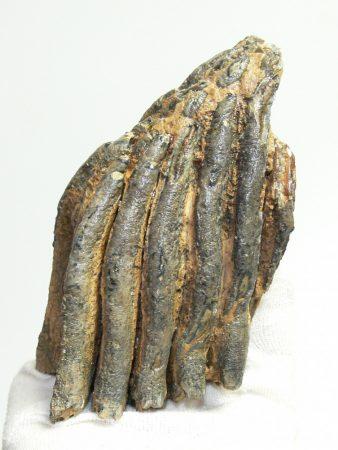 Mammuthus primigenius részleges fog (802 gramm)