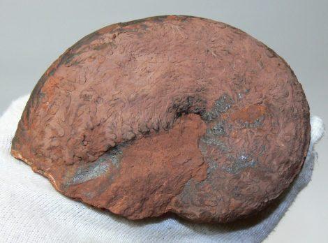 Phylloceras sp. ammonitesz Tardos közeléből (118 mm)