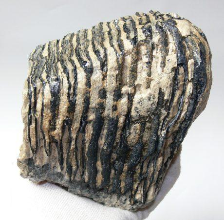 Mammuthus primigenius részleges fog (1786 gramm)