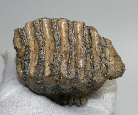 Mammuthus primigenius tooth (213 grams)