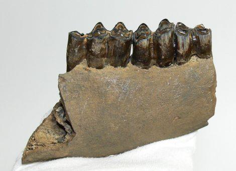 Bison sp. részleges bölény állkapocs (133 mm)