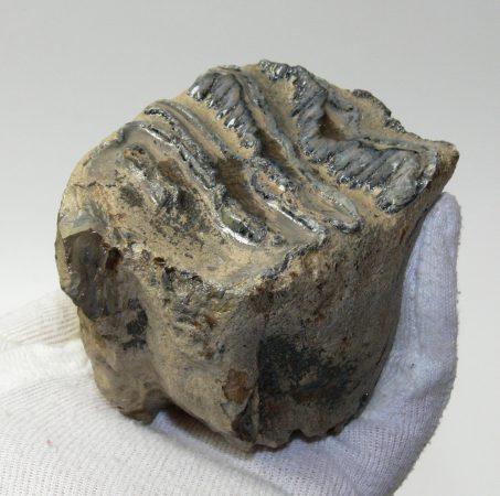 Mammuthus sp. rágás során lekopott mamut fog (464 gramm)