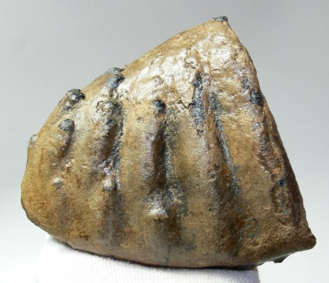Mammuthus meridionalis partial tooth (1365 grams)