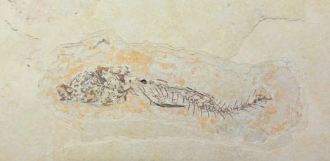 Dapalis macrurus  partial fish fossil from France SOLD (LT) 02