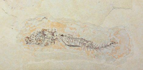 Dapalis macrurus részleges hal kövület Franciaországból  ELFOGYOTT (LT) 02