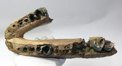 Stephanorhinus sp, részleges orrszarvú állkapocs (1409 gramm)