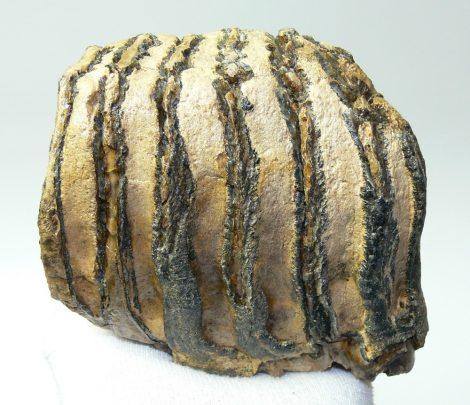 Mammuthus primigenius partial tooth (858 grams)