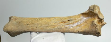 Equus sp. tibia bone (363 mm) horse