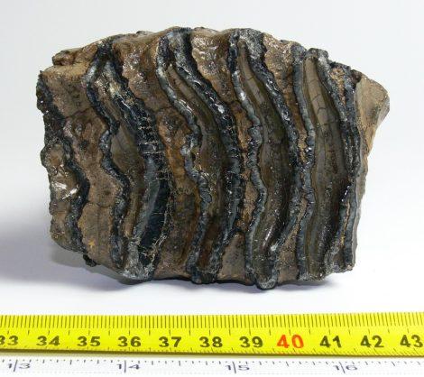 Részleges Mammuthus meridionalis fog (640 gramm)