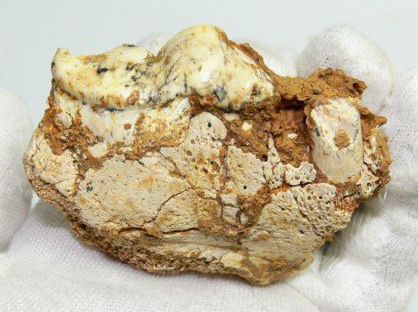 Crocuta Spelaea tooth Hyena partial skull from France