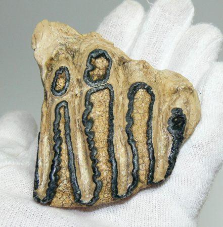 Mammuthus sp. teeth (128 grams) mammoth molar