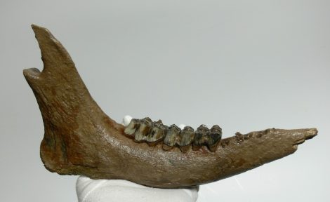 Megaloceros giganteus partial jaw (301 mm)
