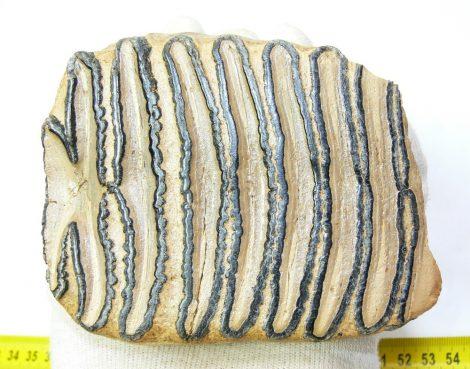 Mammuthus primigenius részleges fog (556 gramm)