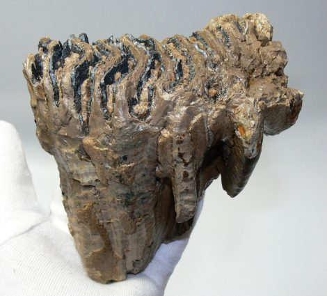 Mammuthus primigenius tooth (1151 grams) Woolly mammoth molar