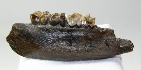 Sus scrofa partial jaw from Poland (120 mm)