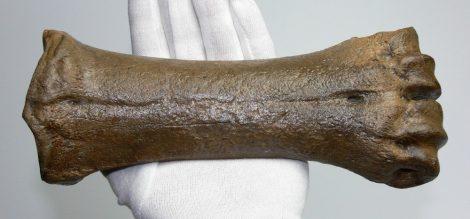 Bison sp. ősi bölény metacarpus csontja (238 mm)