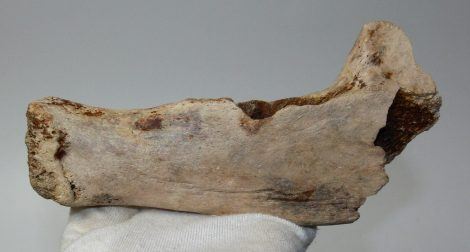 Ursus sp. partial jaw (202 mm) from Hungary