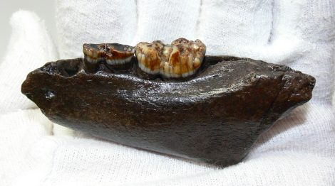Sus scrofa partial jaw from Poland