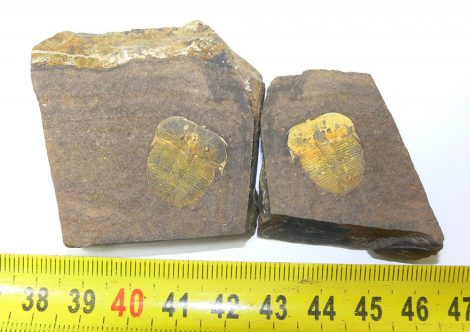 Aulacopleura konincki trilobita pár Csehországból  ELFOGYOTT (PA) 09