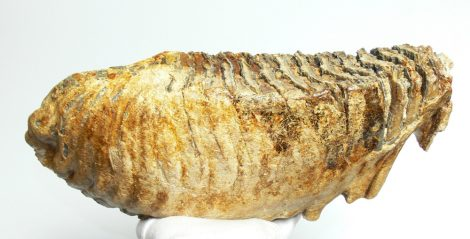 Mammuthus primigenius tooth (377 mm) Woolly mammoth molar