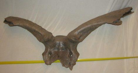 Megaloceros giganteus óriásszarvas koponya (87 cm)