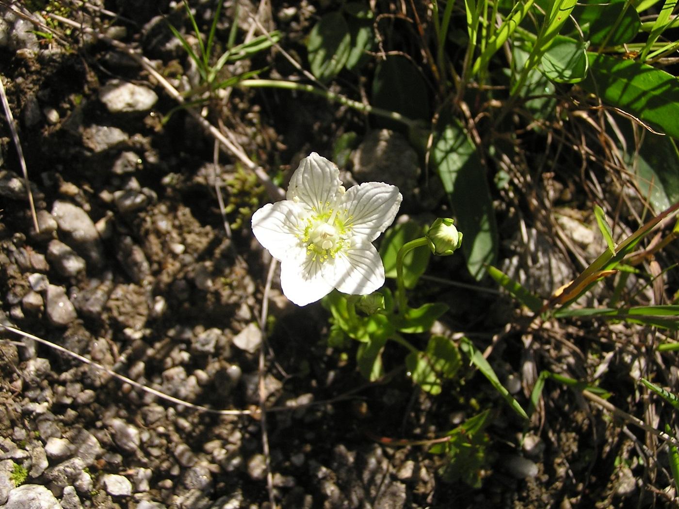 fehér virág